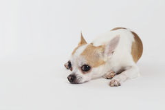 Chihuahua thailand alone. On grey background Royalty Free Stock Images