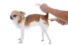 Chihuahua and thermometer Stock Images