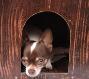 Chihuahua thuis royalty-vrije stock afbeelding