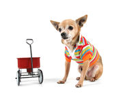 A chihuahua with a tiny wagon Stock Photo