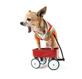 A chihuahua with a tiny wagon Royalty Free Stock Photo