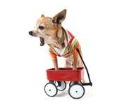A chihuahua with a tiny wagon Royalty Free Stock Photo