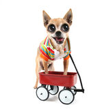 A chihuahua with a tiny wagon Royalty Free Stock Photos