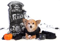 Chihuahua to Halloween with tombstone decor. On white background stock photo