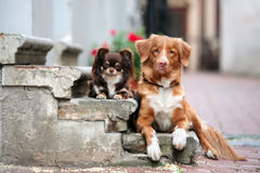 Chihuahua and toller dogs posing together on the steps Royalty Free Stock Photography