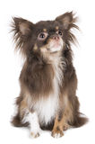 Chihuahua with tongue Royalty Free Stock Photography