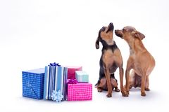 Chihuahua, toy-terrier anf Christmas gifts. Sleek-haired purebred dogs sitting with gift boxes on white background, studio shot. New Year and Christmas concept Royalty Free Stock Photo