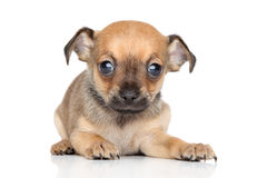 Chihuahua and Toy Terrier mixed-breed puppy Royalty Free Stock Photo
