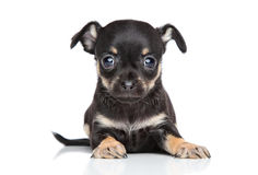 Chihuahua and toy terrier mixed-breed puppy Stock Photography