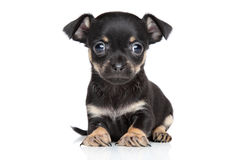 Chihuahua and toy terrier mixed-breed puppy Stock Photos