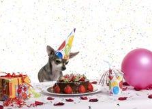 Chihuahua an tragendem Geburtstaghut der Tabelle Stockbilder
