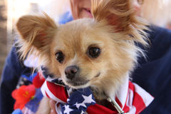 Chihuahua an tragender Bandanna des Rettungsereignisses Stockbilder