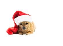 Chihuahua-tragender Weihnachtsstrumpf - linke Seite Stockfotografie