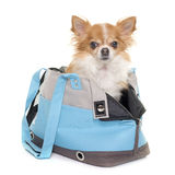 Chihuahua and travel bag Royalty Free Stock Photos