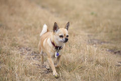 Chihuahua Trotting Through Yellow Grass Royalty Free Stock Images