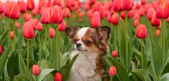 Chihuahua tulips Royalty Free Stock Photography