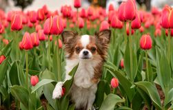 Chihuahua tulips Stock Photography