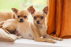 chihuahua två Arkivfoto
