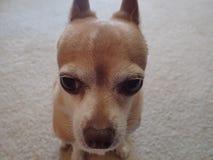Chihuahua twarz Zdjęcia Stock