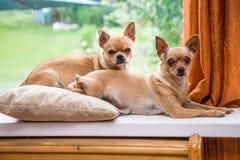 Chihuahua twee Royalty-vrije Stock Foto