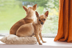 Chihuahua. Two curious, cute chihuahua indoors Royalty Free Stock Photos