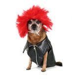 Chihuahua ubierający ubierać w peruce zdjęcia stock