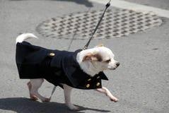 Chihuahua in un cappotto Fotografia Stock Libera da Diritti
