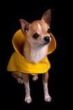 Chihuahua in un impermeabile Fotografia Stock Libera da Diritti