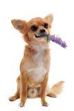 Chihuahua und Blume lizenzfreies stockbild