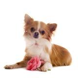 Chihuahua und Blume stockbild