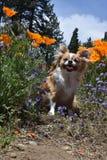 Chihuahua und Blumen Lizenzfreie Stockfotos