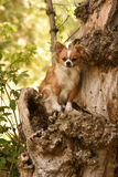 Chihuahua und der Baum Stockfoto