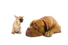 Chihuahua und ein französischer Mastiffhund Stockfoto