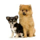 Chihuahua und ein Spitz Stockbild