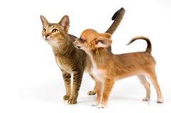 Chihuahua und eine Katze Lizenzfreie Stockfotos