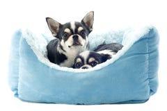 Chihuahua und Hundebett Lizenzfreie Stockfotos