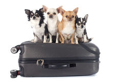 Chihuahua und Koffer Stockfoto