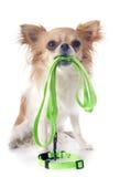 Chihuahua und Leine Stockfoto