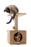 Chihuahua und siamesische Katze Stockbild