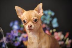 Chihuahua unter den Blumen Stockfoto