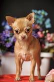 Chihuahua unter den Blumen Lizenzfreie Stockfotos