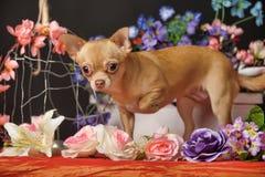 Chihuahua unter den Blumen Lizenzfreies Stockbild