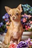 Chihuahua unter den Blumen Stockfotos