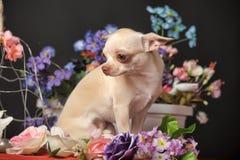 Chihuahua unter den Blumen Lizenzfreies Stockfoto