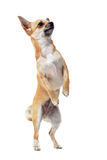 Chihuahua upright Stock Photos