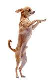 Chihuahua upright Stock Image