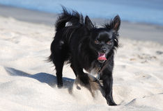 Chihuahua on vacation. Black Chihuahua on the beach digging royalty free stock photos