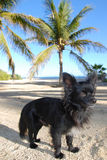 Chihuahua on vacation. Black Chihuahua in beach setting royalty free stock image