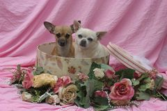 Chihuahua van de Doos van de hoed Stock Fotografie