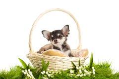 Chihuahua van het hondhuisdier op witte achtergrond wordt geïsoleerd die Stock Fotografie
